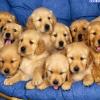 Allevamento Golden Retriever Pet Therapy
